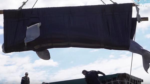 Выпуск белух из китовой тюрьмы