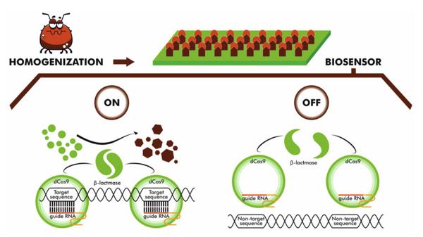 Схема работы биосенсора для обнаружения следов боррелиоза