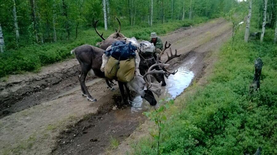 Олени по дороге на охотничий участок