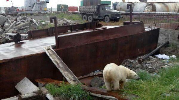 Белая медведица на причале в городе Анадырь, Чукотка. 9 августа 2019