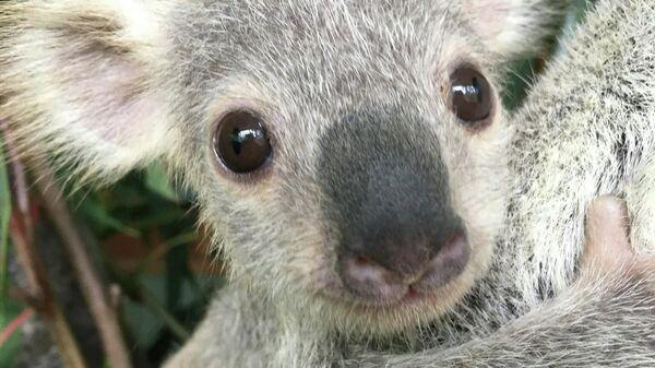 Самая милая коала Аавстралии 2019