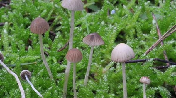 Новый вид грибов, открытый каталонскими микологами