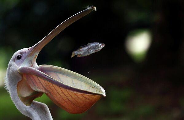 Пеликан ловит рыбу во время кормления в парке Сент-Джеймс в центре Лондона