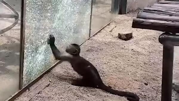 Обезьяна камнем разбила стекло, чтобы сбежать из зоопарка