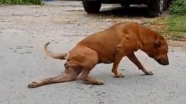 Собака в Бангкоке притворяется раненой, чтобы выпрашивать еду