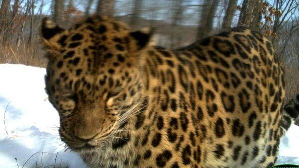 Дальневосточный леопард Leo 22M по имени Лель