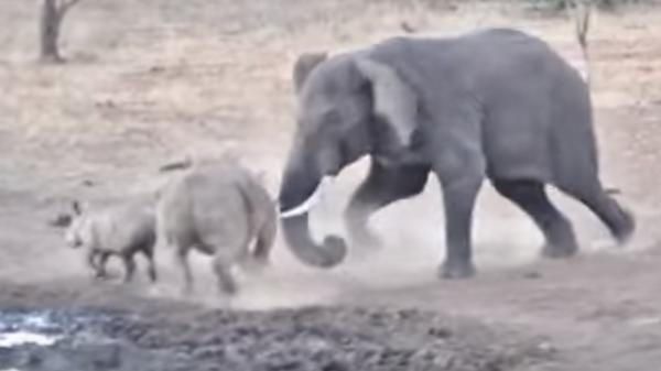 Драка носорога и слона попала на видео