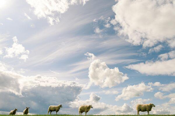 Овцы пасутся на поле на севере Германии