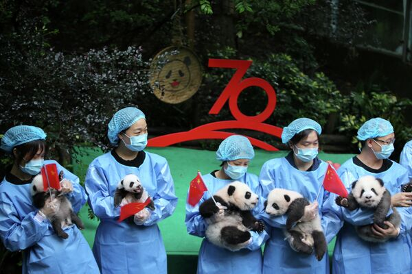 Работники центра изучения и разведения больших панд в Чэнду показывают детенышей, родившихся в этом году, в связи с 70-летием основания КНР