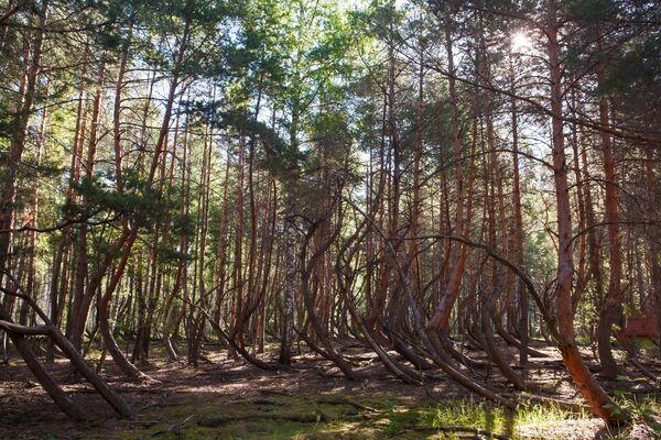 Участок аномального леса (пьяный лес) в окрестностях села Тырново в Шиловском районе Рязанской области