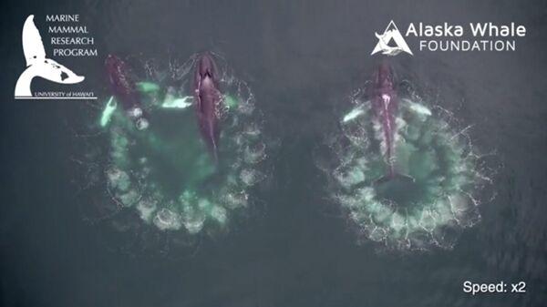 Горбатые киты создают пузыри, чтобы поймать добычу