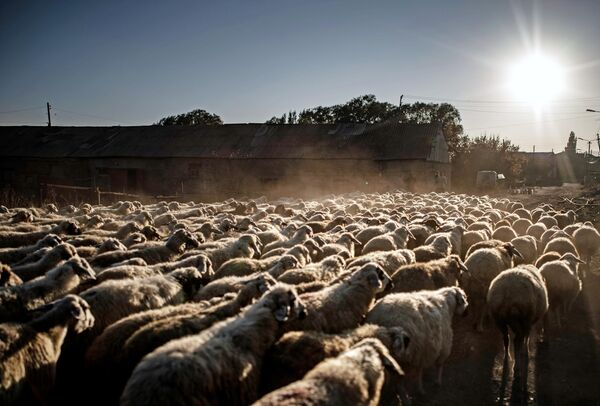 Отара овец идет к пастбищу по одной из улиц деревни близ озера Севан в Армении