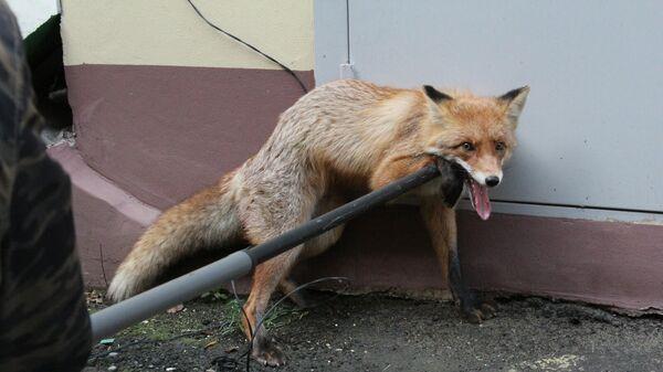 Лисица, пойманная на территории Нижегородского кремля