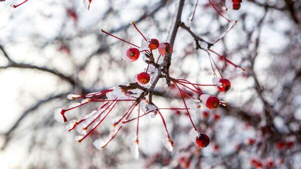 Деревья с замершими ягодами