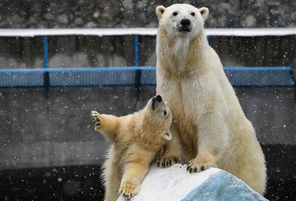 Белая медведица Герда и медвежонок в вольере Новосибирского зоопарка имени Р. А. Шило во время праздника День тыквы
