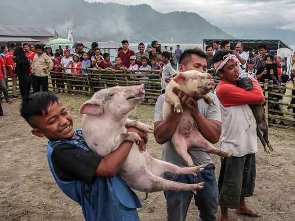 Конкурс по отлову свиней во время фестиваля свиней на озере Тоба в Муаре