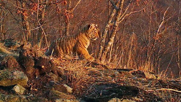 Детеныш амурского тигра в национальном парке Земля леопарда