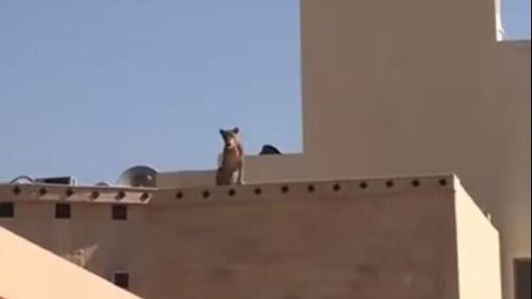 В Саудовской Аравии школьников напугала львица, сидящая на крыше дома