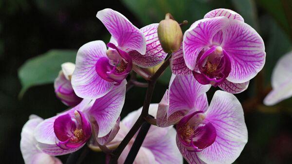 Фаленопсисы гибридные на выставке тропических орхидей в оранжерее Ботанического сада во Владивостоке