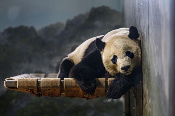 Большая панда Bei Bei в Национальном зоопарке Смитсоновского института в Вашингтоне, округ Колумбия