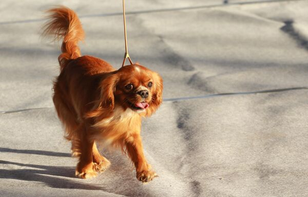 Собака породы кавалер кинг чарльз спаниель на международной выставке собак в Москве