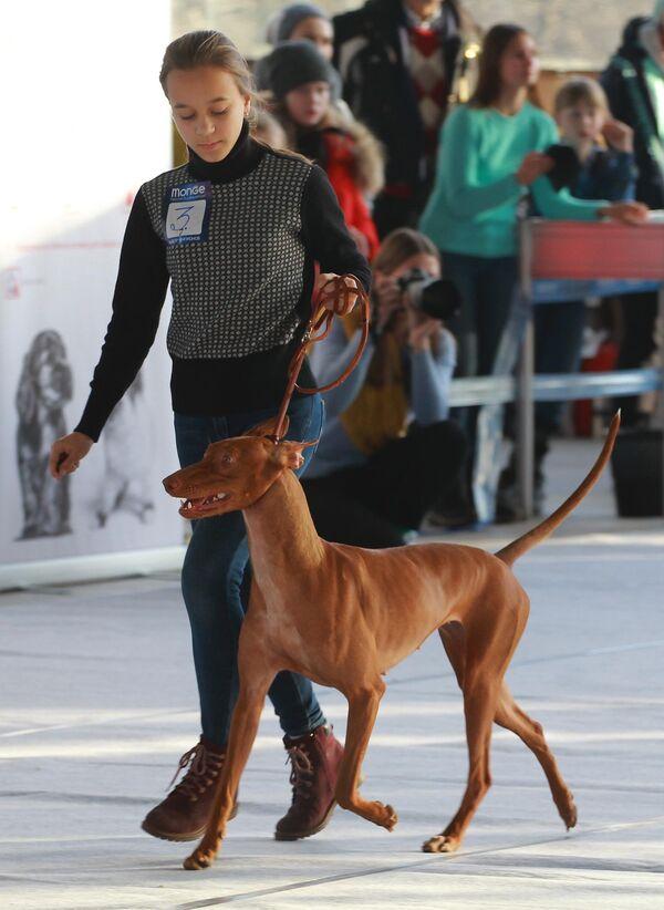 Девушка с собакой породы фараонова собака на международной выставке собак в Москве