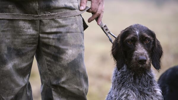 Собака породы дратхаар во время состязаний