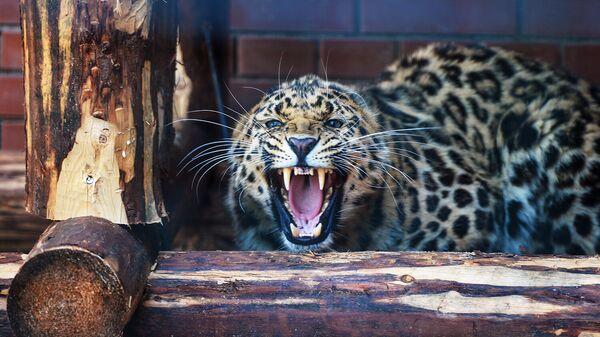 Леопард Николай в Центре воспроизводства редких видов животных Московского зоопарка в Волоколамском районе Подмосковья