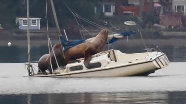 Морские котики на заброшенной лодке. Кадр из видео