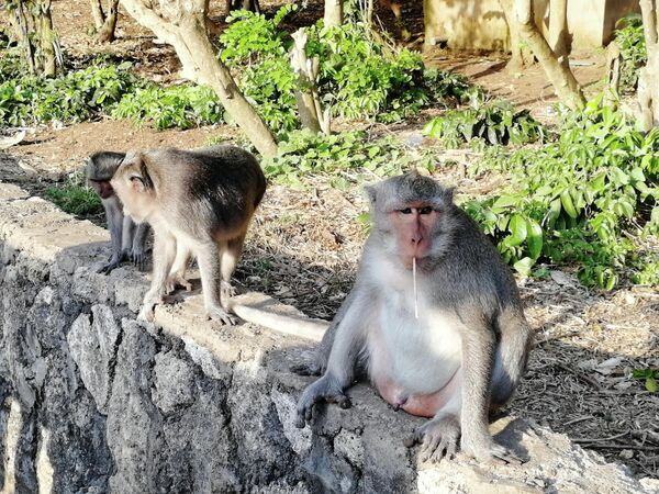 Бали. Обезьяна у храма Улувату