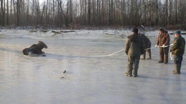 Спасение лося в Кировской области