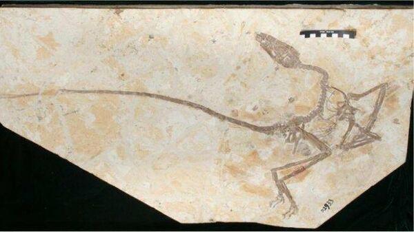 Пернатый динозавр Wulong bohaiensis