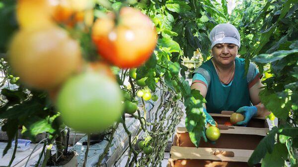 Сотрудница во время сбора урожая томатов в тепличном комплексе