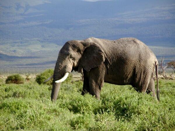 Слон-хулиган нетрадиционной ориентации в третий раз сменил зоопарк