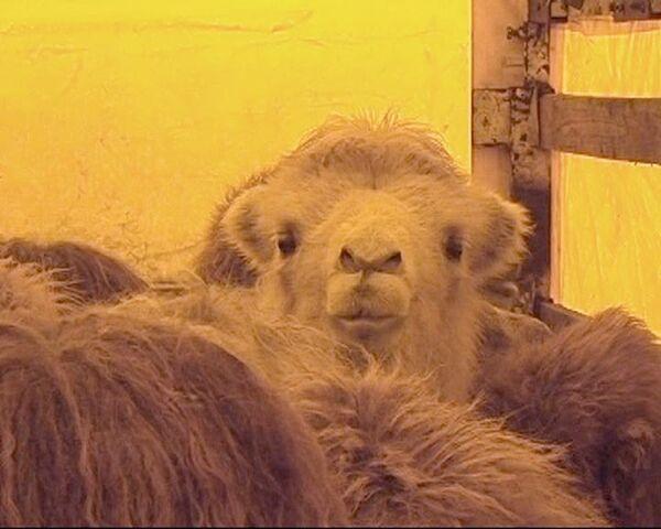 Верблюды, которых Украина не пропускала две недели, выехали в Болгарию