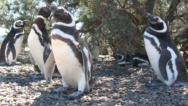 Пингвины. Архивное фото