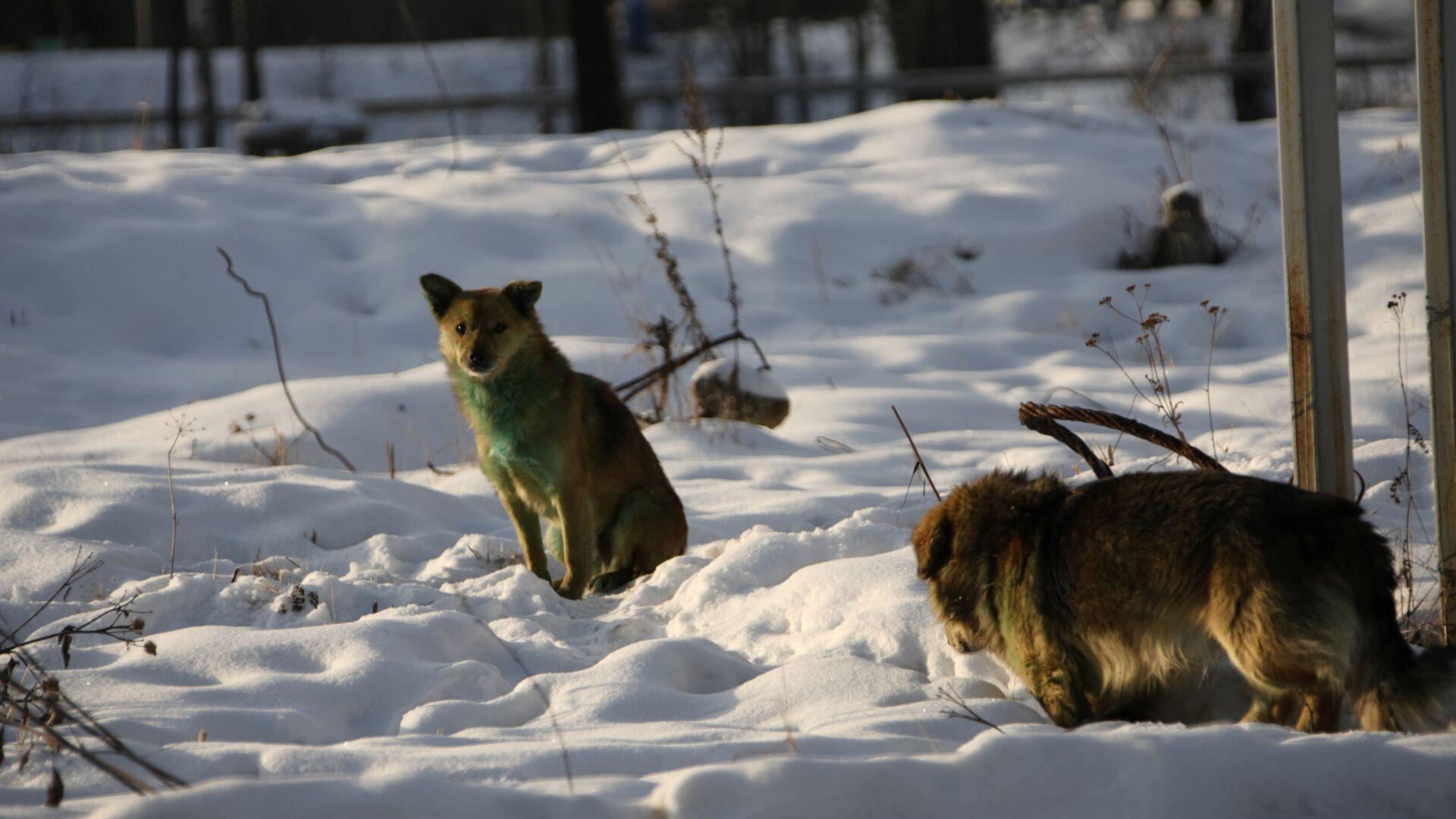 В Красноярске на школьницу напала стая бродячих собак