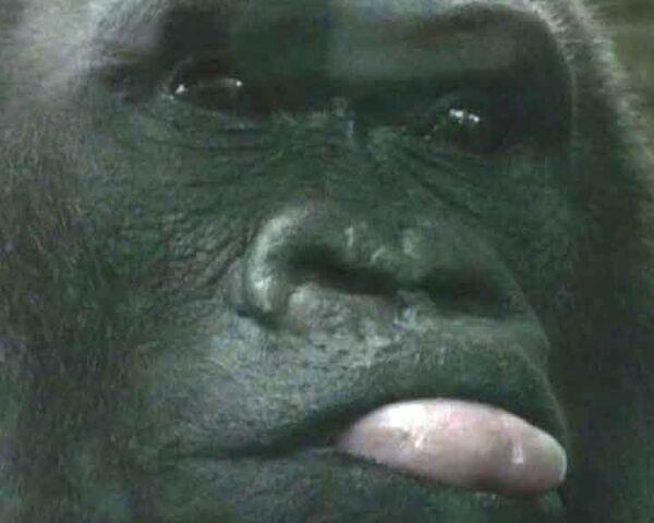Именинный пирог и песня: горилле-долгожительнице исполнилось 53 года