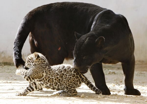 Ягуары в зоопарке в Иордании