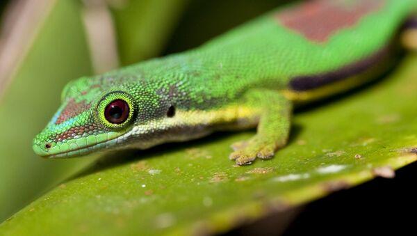 Мадагаскарский дневной геккон. архивное фото