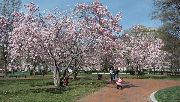 Фестиваль цветущей вишни в Вашингтоне. Архивное фото