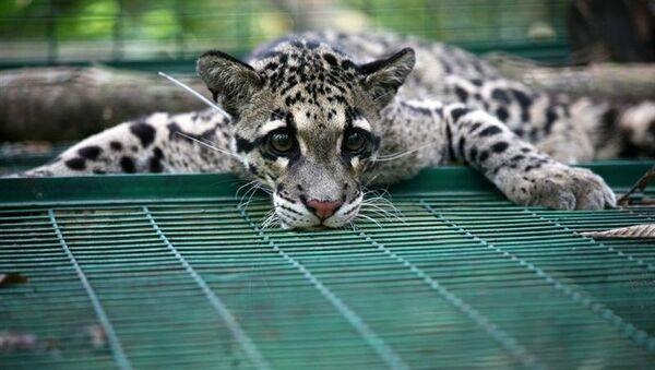 Дымчатый леопард. Архивное фото