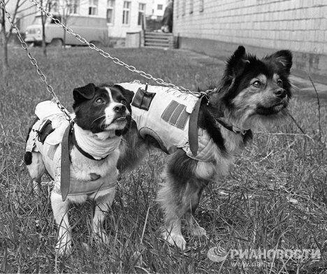 Участники полета в космос - собаки Ветерок и Уголек