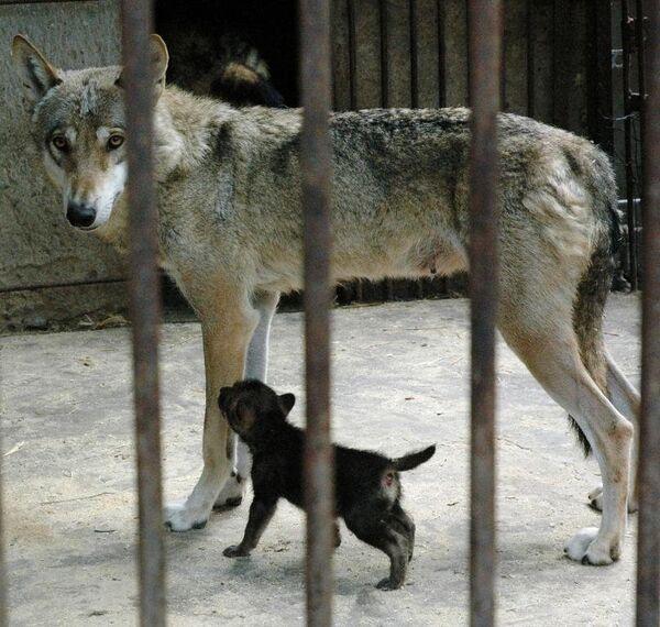 Волк в Одесском зоопарке