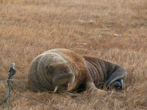 Загулявший морж устроил переполох в аэропорту Тикси