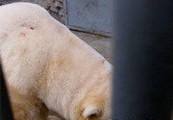 В Московском зоопарке обстрелян белый медведь