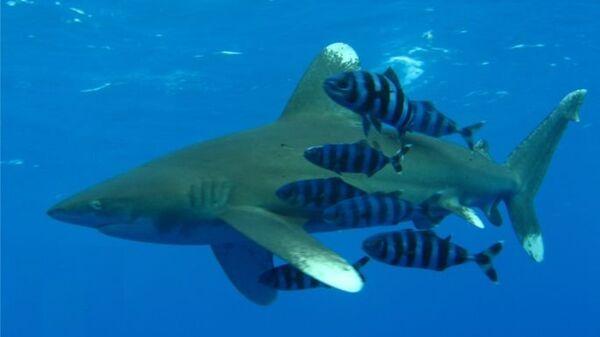 Акула, нападавшая на купающихся на пляже Шарм-эш-Шейха, принадлежит к виду длиннокрылых акул