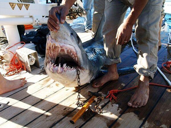 Акула, нападавшая на туристов у берегов Шарм-эш-Шейха