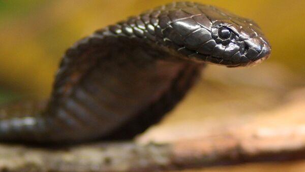 Египетская кобра. Архивное фото