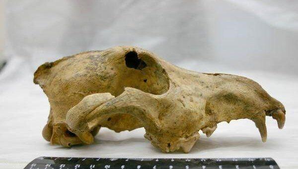 Череп древнейшей в Азии собаки